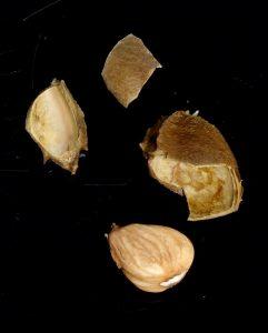 Костилките от кайсии не са добър вариант за екфсолиант.